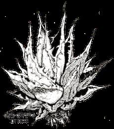 agave02